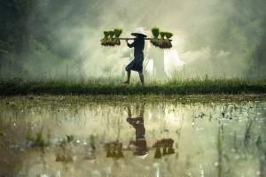 OGM Sud-Est Asiatico